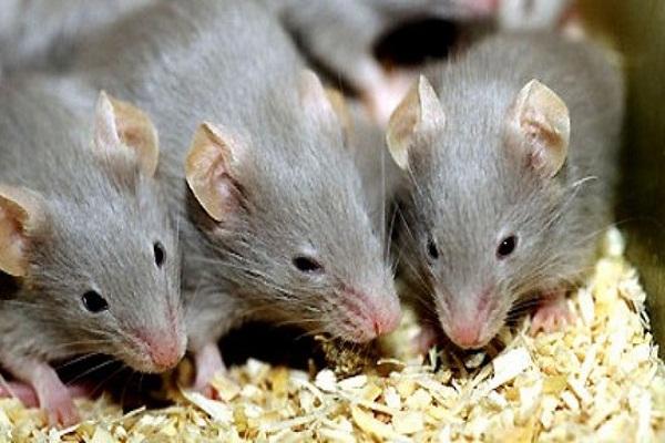 Mách bạn 3 cách cực đơn giản để nhà không có bóng dáng con chuột nào