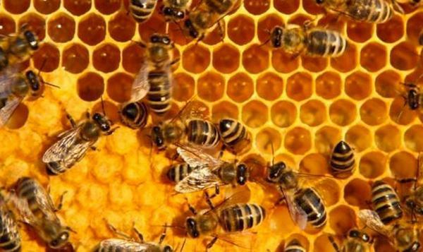 Thực hư mật ong dùng chữa bệnh và làm đẹp nhiều nguy cơ nhiễm thuốc trừ sâu