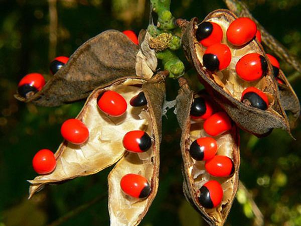 Cây độc: Cam thảo dây có hạt rất đẹp để trang trí, nhưng lại chứa chất độc nguy hiểm