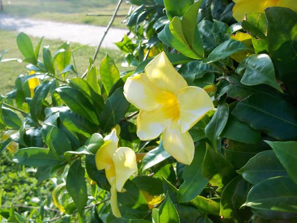 Cây độc: Huỳnh anh được trồng nhiều trong nhà, nhưng chứa độc tố gây hại cho trẻ em